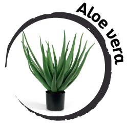 Pianta in camera da letto: Aloe Vera
